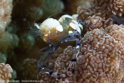 BD-161031-Reta-4322-Periclimenes-brevicarpalis-(Schenkel.-1902)-[Peacock-tail-anemone-shrimp].jpg